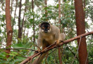 Lemur v Madagaskaru